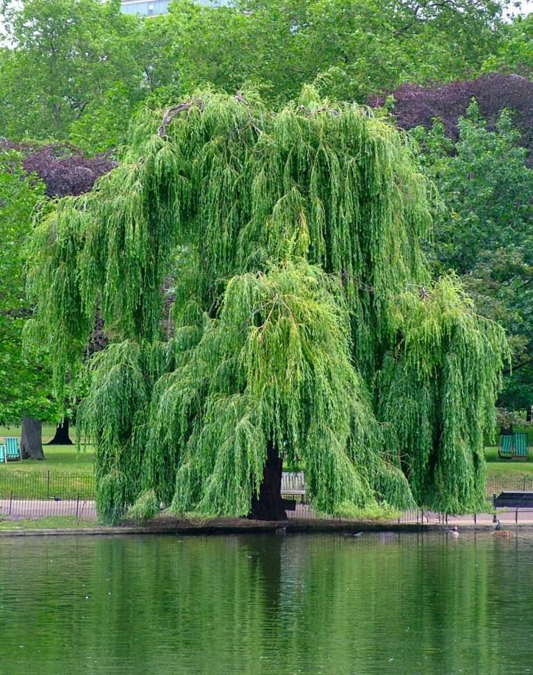 Травы, коренья, смолы в магических ритуалах 1226586163_iva