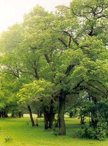 Травы, коренья, смолы в магических ритуалах 91b4e3338d58