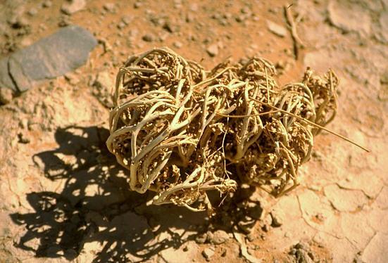 Травы, коренья, смолы в магических ритуалах Anastatica_hierochuntica2