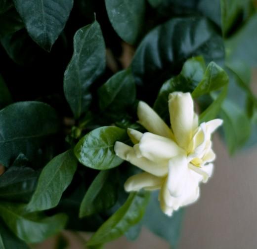 Травы, коренья, смолы в магических ритуалах Gardenia1-520x504
