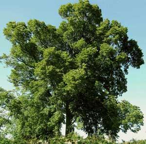 Травы, коренья, смолы в магических ритуалах Buk