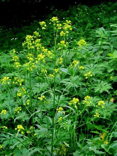 Травы, коренья, смолы в магических ритуалах Flower_8