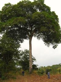 Травы, коренья, смолы в магических ритуалах Kopalovoe-derevo