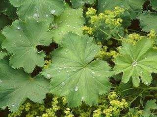 Травы, коренья, смолы в магических ритуалах Lady-mantle