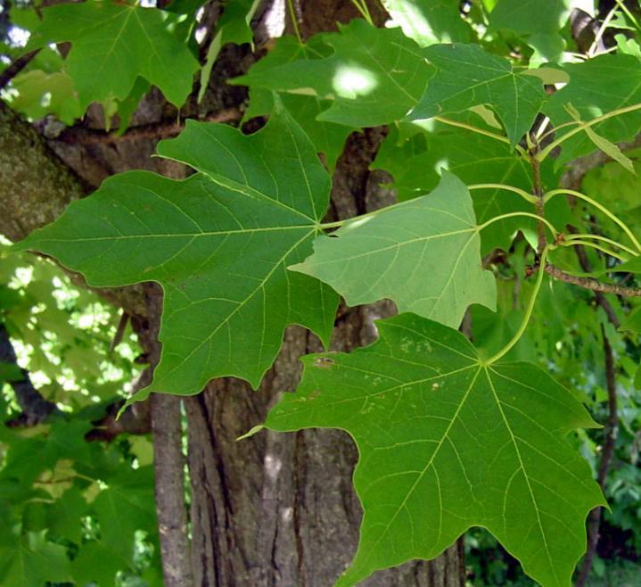 Травы, коренья, смолы в магических ритуалах Saharnij-klen