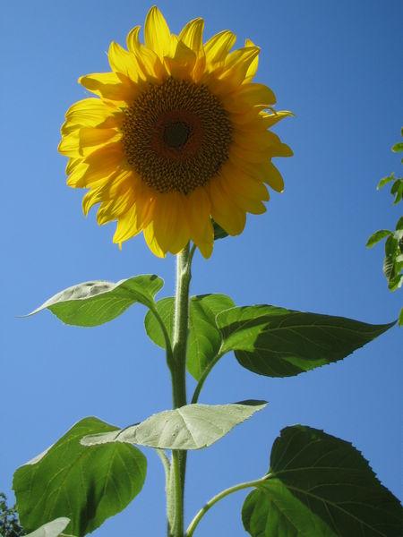 Травы, коренья, смолы в магических ритуалах Sunflower