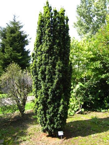 Травы, коренья, смолы в магических ритуалах Taxus_01