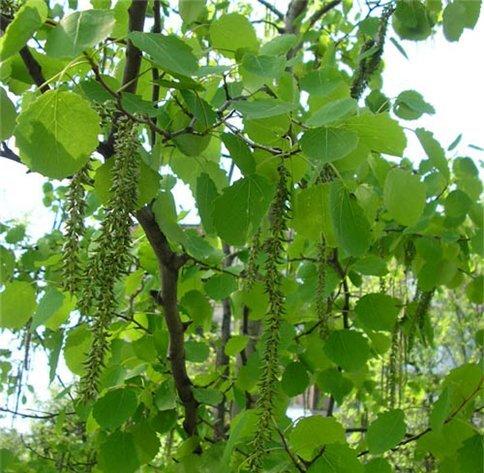 Травы, коренья, смолы в магических ритуалах Uytrewq