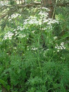 Травы, коренья, смолы в магических ритуалах Vedmina