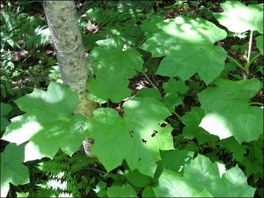 Травы, коренья, смолы в магических ритуалах Zamaniha
